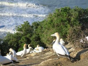 Gannet nest CU
